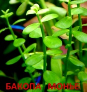 Бакопа монье. НАБОРЫ растений для запуска акваса. ПОЧТОЙ и МАРШРУТКОЙ