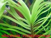 Эйхорния лазарева. НАБОРЫ растений для запуска. ПОЧТОЙ и мар--