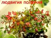 Людвигия ползучая. НАБОРЫ растений для запуска. ПОЧТОЙ отправл=)