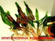 Криптокорина родственная. НАБОРЫ растений для запуска. УДОБРЕНИЯ. ПОЧТ