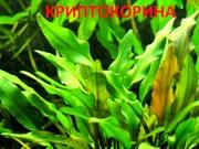 Криптокорина зеленая. НАБОРЫ растений для запуска. УДОБРЕНИЯ. ПОЧТОЙ.
