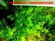 Хемиантус микроимоидес. НАБОРЫ растений для запуска. УДОБРЕНИЯ. ПОЧТО