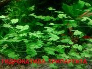 Гидрокатила трипартита. НАБОРЫ растений для запуска. УДОБРЕНИЯ. ПОЧТО
