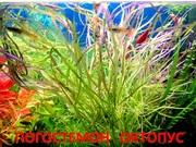 Погостемон октопус. НАБОРЫ растений для запуска. УДОБРЕНИЯ. ПОЧТО