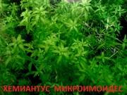 Хемиантус микроимоидес. НАБОРЫ растений для запуска. ПОЧТОЙ и МА