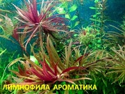 Лимнофила ароматика.. НАБОРЫ растений для запуска. ПОЧТОЙ и МАРШРУТ
