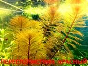 Перестолистник красный.. НАБОРЫ растений для запуска. ПОЧТОЙ и МАРШР