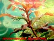 Прозерпинака палюстрис.. НАБОРЫ растений для запуска. ПОЧТОЙ и МАРШР
